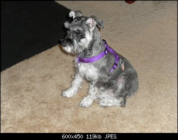 THIS IS ABBIGALE. SHE WAS BORN ON JANUARY 10, 2010.  SHE IS A MINI SCHNAUZER